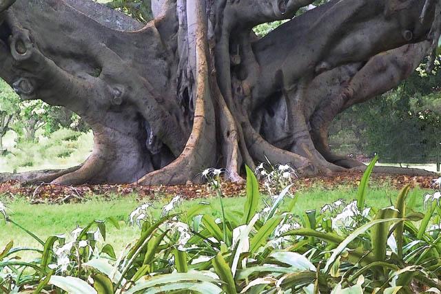 Time-less-image Adansonia digitata, baobab